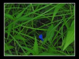 BLUE IREDS